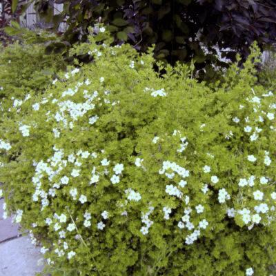 Abbotswood Potentilla Garden Plant