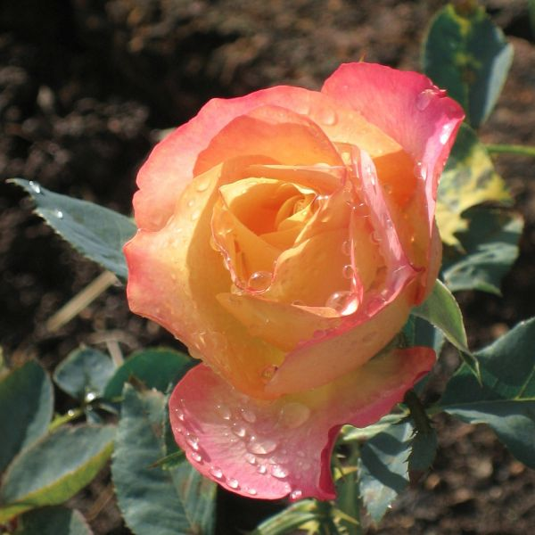 About Face Rose Garden Plant