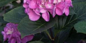 Abracadabra Orb Hydrangea Garden Plant