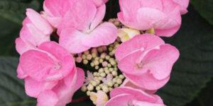 Abracadabra Star Hydrangea Garden Plant