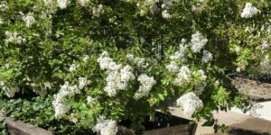 Acoma Crape Myrtle Garden Plant