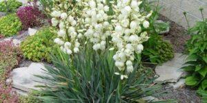 Adams Needle Yucca Garden Plant