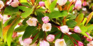 Adirondack Crabapple Garden Plant