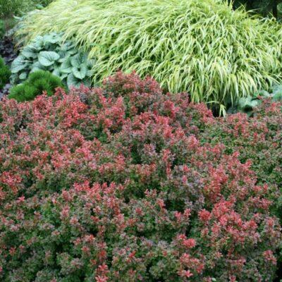 Admiration Barberry Garden Plant