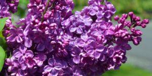 Agincourt Beauty Lilac Garden Plant