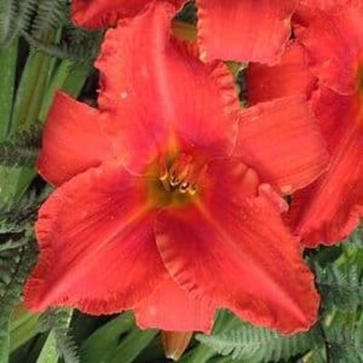 Alabama Jubilee Daylily Garden Plant