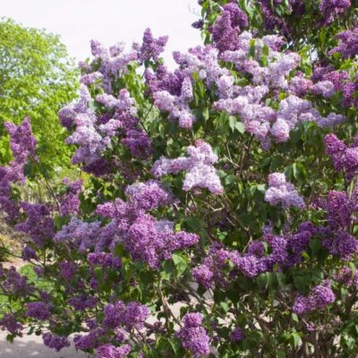 Albert F Holden Lilac Garden Plant