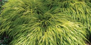 All Gold Grass Garden Plant