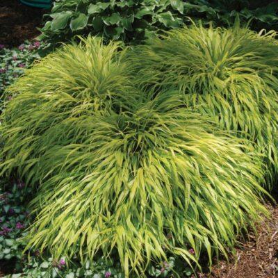 All Gold Grass Garden Plant