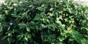 Allemans Compact Dogwood Garden Plant