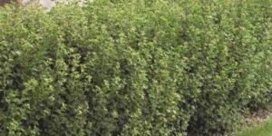 Alpine Currant Garden Plant