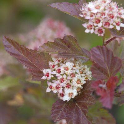 Amber Jubilee Ninebark Tree Garden Plant