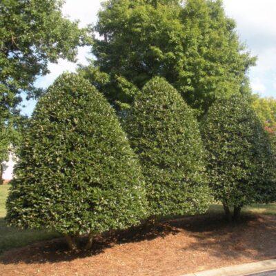 American Holly Garden Plant