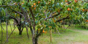 American Persimmon Garden Plant