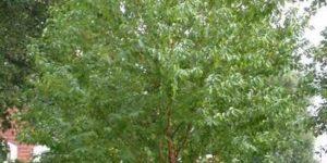 Amur Chokecherry Garden Plant