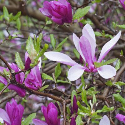 Ann Magnolia Garden Plant
