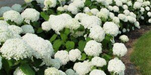 Annabelle Hydrangea Garden Plant