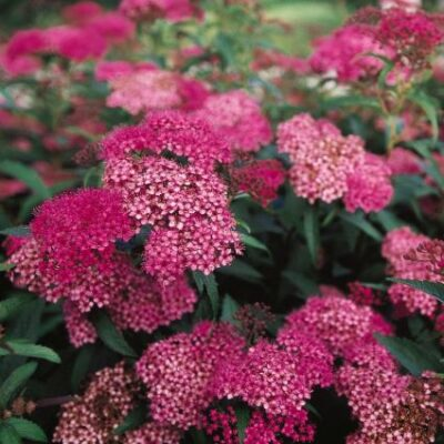 Anthony Waterer Spirea Garden Plant