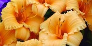 Apricot Sparkles Daylily Garden Plant