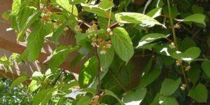 Arctic Beauty Kiwi Vine Garden Plant