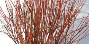 Arctic Fire Dogwood Garden Plant