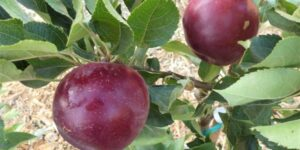 Arkansas Black Apple Tree Garden Plant