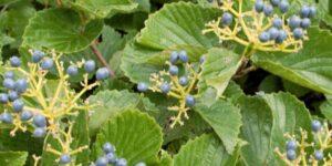 Arrowwood Viburnum Garden Plant