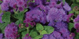 Artist Blue Ageratum Garden Plant