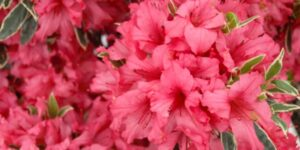 Ashley Marie Girard Azalea Garden Plant