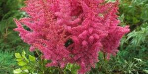 Astilbe Rise and Shine Garden Plant
