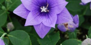 Astra Double Blue Balloon Flower Garden Plant