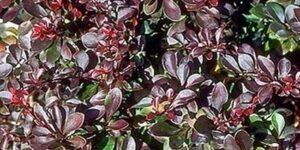 Atro Nana Barberry Garden Plant