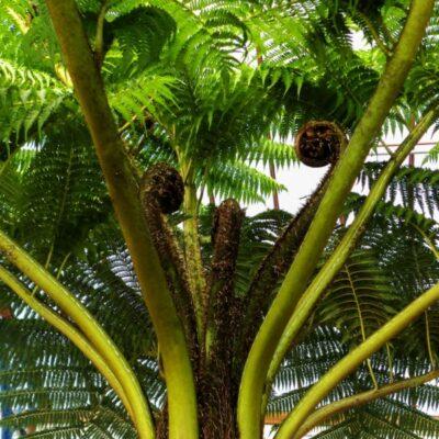 Australian Tree Fern Garden Plant