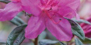 Autumn Amethyst Encore Azalea Garden Plant