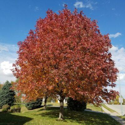 Autumn Blaze Ash Garden Plant