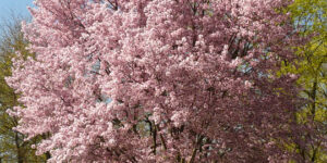 Autumn Blooming Cherry Garden Plant