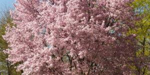 Autumn Blooming Cherry Garden Plant
