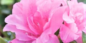 Autumn Carnation Encore Azalea Garden Plant