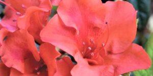 Autumn Embers Encore Azalea Garden Plant