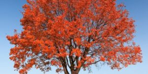 Autumn Fantasy Red Maple Tree Garden Plant