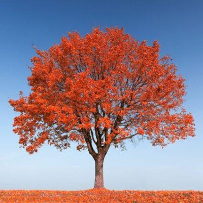 Autumn Fantasy Red Maple Tree Garden Plant
