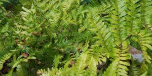 Autumn Fern Garden Plant