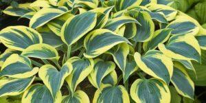 Autumn Frost Hosta Garden Plant