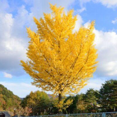Autumn Gold Ginkgo Garden Plant