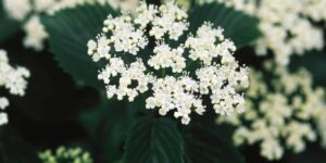 Autumn Jazz Arrowwood Viburnum Garden Plant