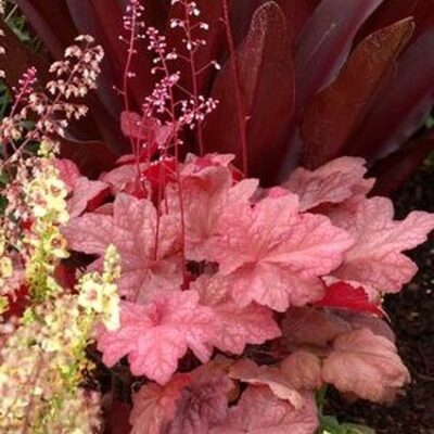 Autumn Leaves Coral Bells Garden Plant