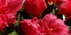Autumn Rouge Encore Azalea Garden Plant