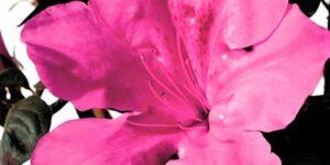 Autumn Sangria Encore Azalea Garden Plant