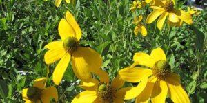 Autumn Sun Coneflower Garden Plant