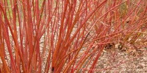 Bailey Red Twigged Dogwood Garden Plant